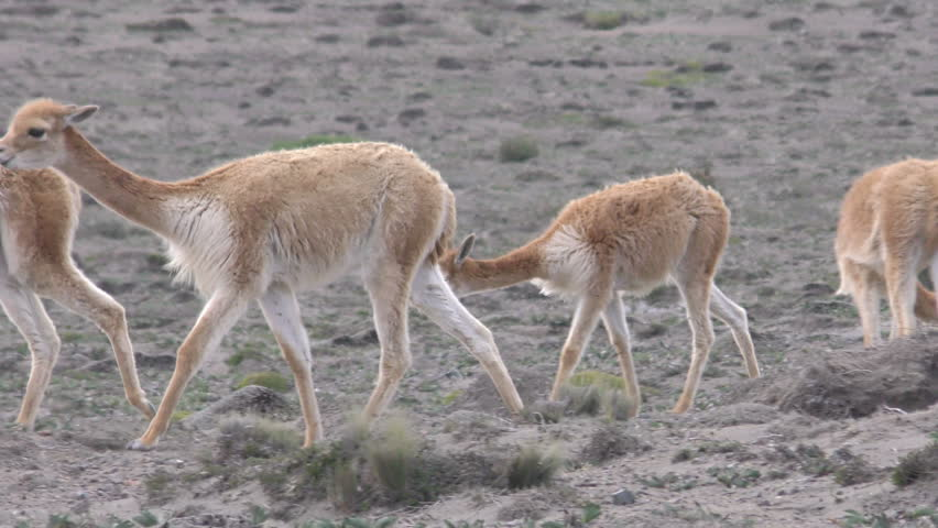 Wildlife Shot Of Vicuna Heard , Low Level Tracking Shot