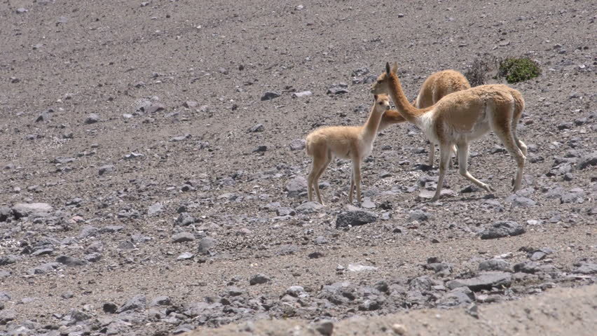 Wildlife Shot Of Vicuna Herd With Young Foal , Low Level Tracking Shot