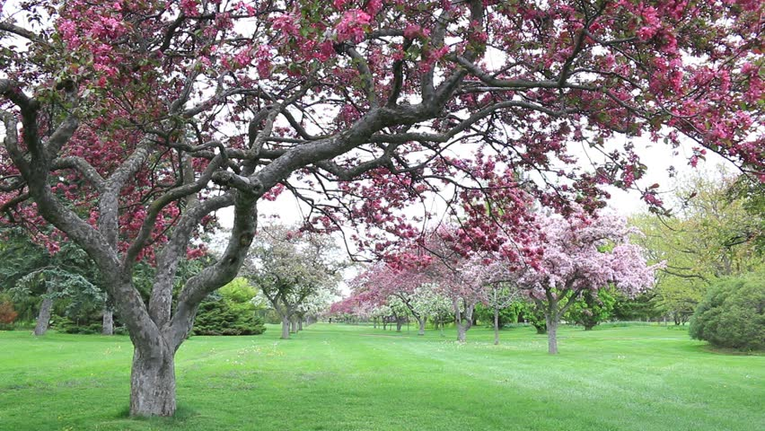 Crab apple tree stock video footage 4k and hd video clips flowering crabapple tree apple tree and cherry tree with blossoms in various shades of red mightylinksfo