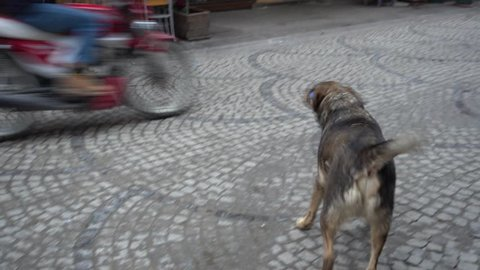 Tuzla, Istanbul, Turkey - 12th of January, 2018:  4K Outrageous huge dogs on the street