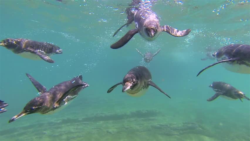 CIRCA 2010s - Galapagos penguins swim towards the camera underwater.