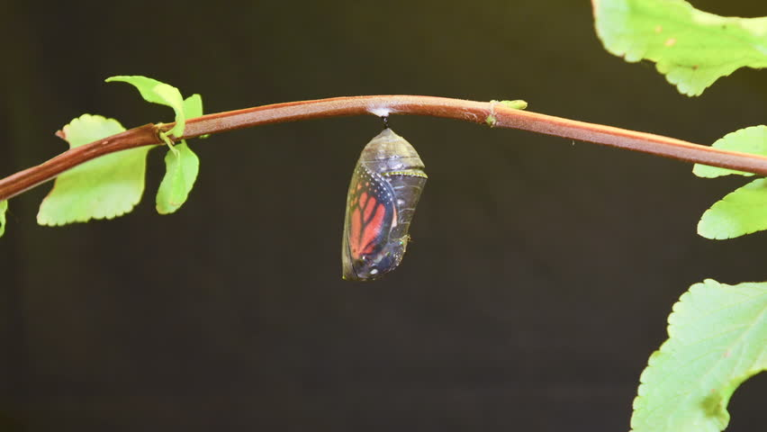 CIRCA 2010s - A monarch butterfly undergoes metamorphosis in this time lapse shot.
