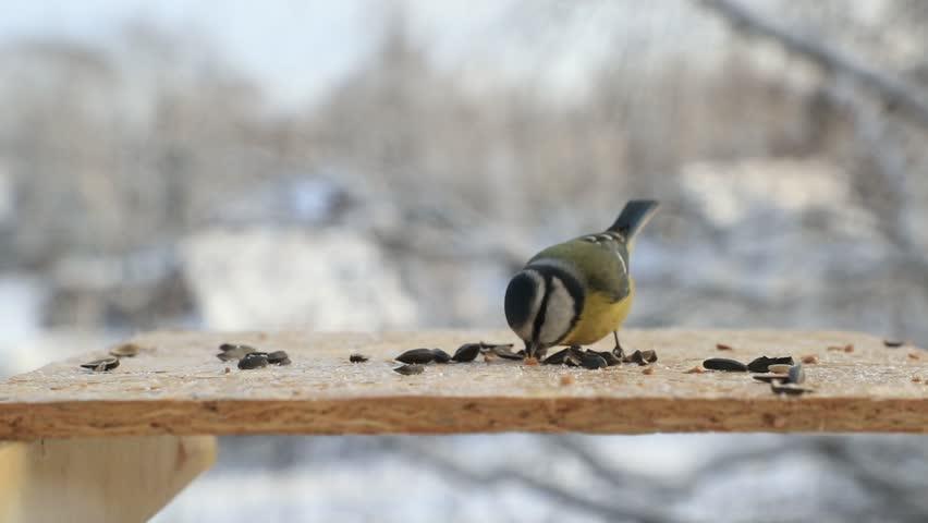 Bird Eurasian Blue Tit pecking seeds in the bird feeder in winter. Slow motion video