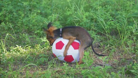 Dog makes funny sex with a toy. A toy is a soccer ball. Legs hang hilariously. Humping dog. Humpy toy terrier.
