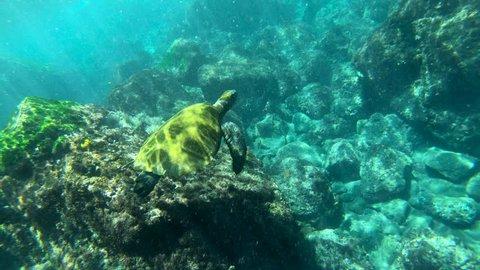 GALAPAGOS ISLANDS, ECUADOR - CIRCA 2010s - Beautiful underwater footage of a sea turtle swimming in the Galapagos Islands, Ecuador.