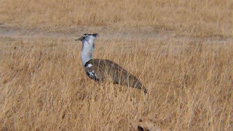 Kori Bustard Bird Ngorongoro