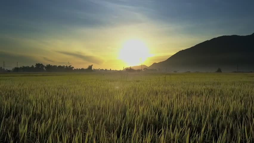 camera moves through ripened rice ears on field to tropical plants on horizon and dark hill at pictorial golden sunrise