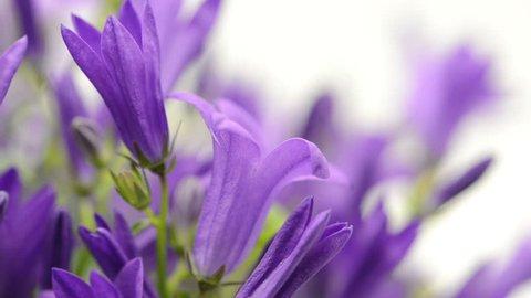 blue bellflowers (Campanula poscharskyana) in rack focus.