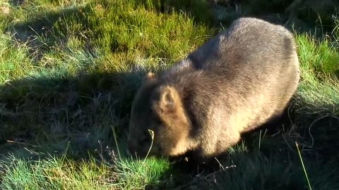 Common Wombat eat grass on the mountain plains on a sunny day
