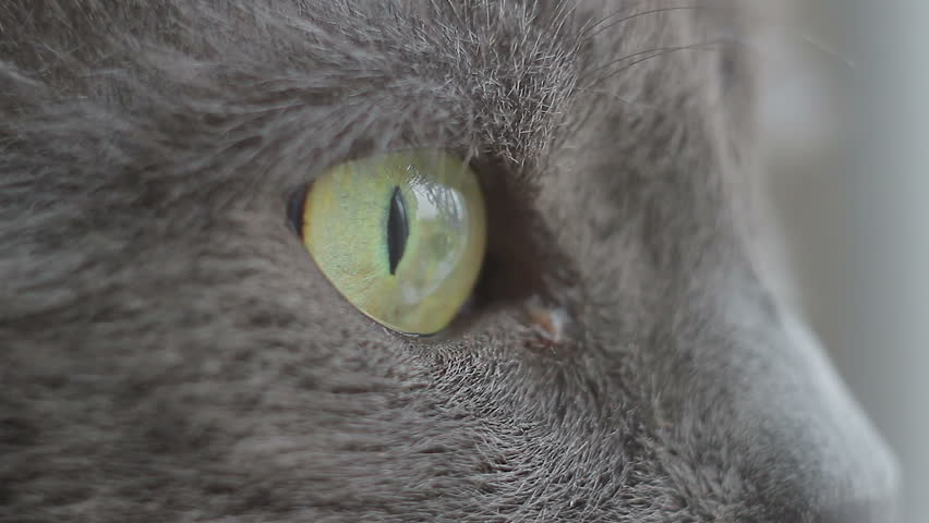 Closeup of the eyes of the cat Russian Blue