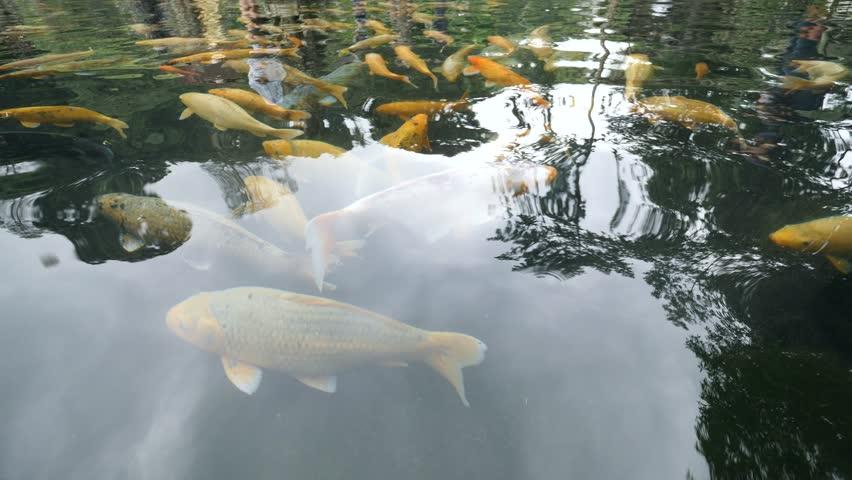 Japanese koi fish swimming