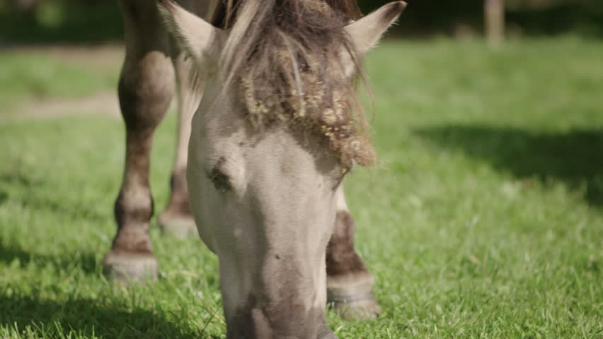 Close up of a wild Konik horse grazing grass in a field in Utrecht on a sunny summer day