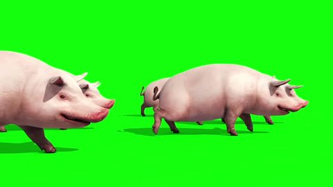 Group of Pigs Animals Farm Walk Side Green Screen 3D Renderings Animations