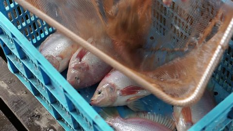 Fresh Tilapia fish is taken using a fishnet net and is put in a fish container.