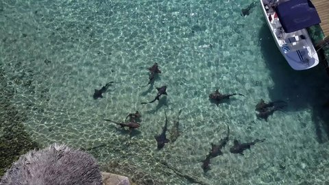 Nurse Sharks circling in group. AERIAL view in ultra clear shallow water, Staniel Cay Exuma Bahamas.