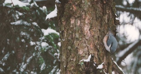 Eurasian nuthatch or wood nuthatch Sitta europaea hides food into tree bark. Colorful bird in winter forest.
