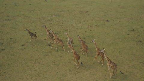 AERIAL: Giraffes in Maasai Mara, Kenya