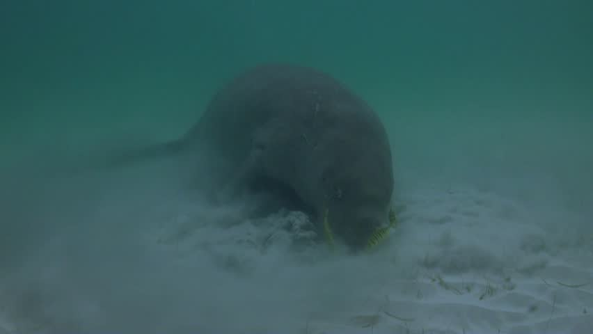 Rare and endangered Dugong feeding on Seagrass. Filmed in Coron Island - Philippines