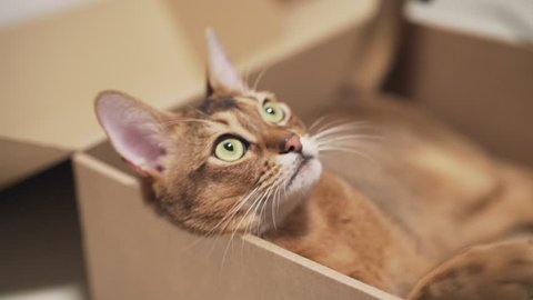 Handheld shot of abyssinian cat lying in cardboard box