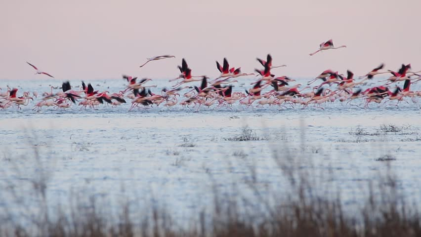 Greater flamingo. Flock of birds takes off from the water.