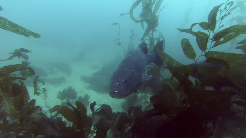 Two very big Black Sea Bass swimming through the reefs of kelp forests off Catalina Island, California.