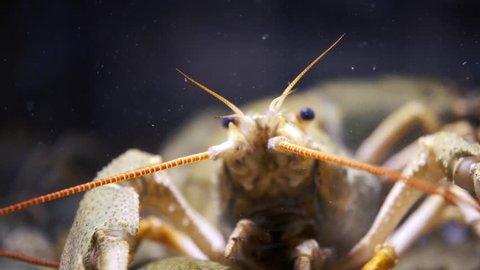 lobsters on the ocean floor