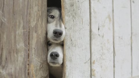 Old dogs Looking through a Fence. Video. Sad tan and white dog looking through hole in timber fence. Black and white cute dogs looking through closed gate