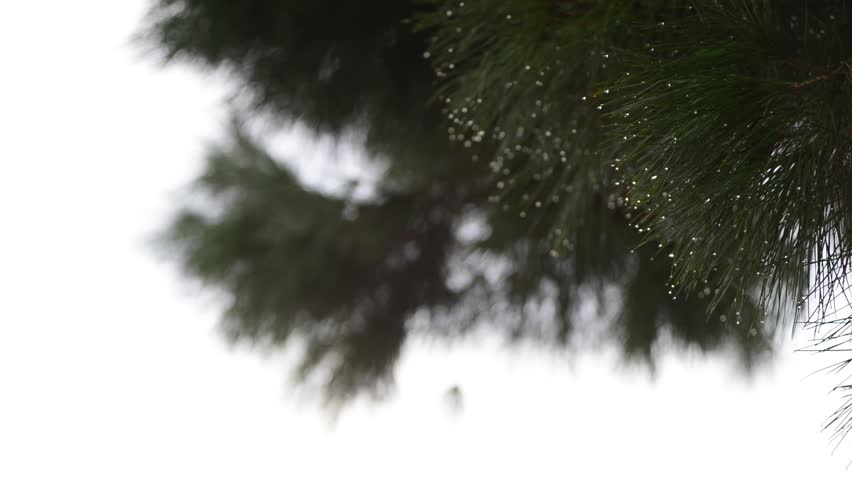 maritime pine needles loaded with raindrops moved by the light wind