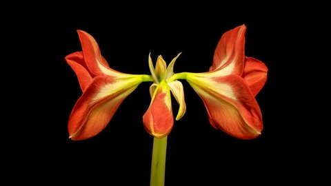 Timelapse of Amaryllis flower blooming on black background