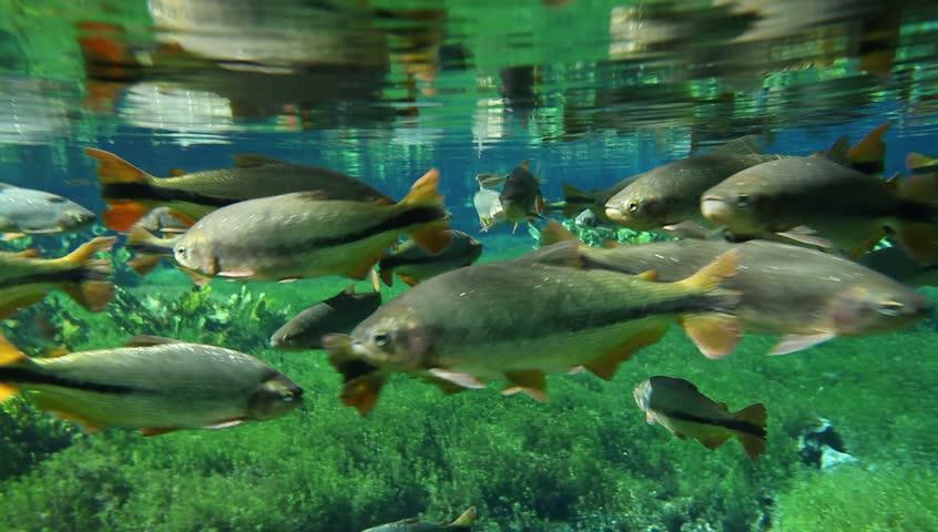 Piraputangas on underwater scene at the Baía Bonita (Beautiful Bay) river spring, a place called Natural Aquarium - Bonito, Mato Grosso do Sul, Brazil