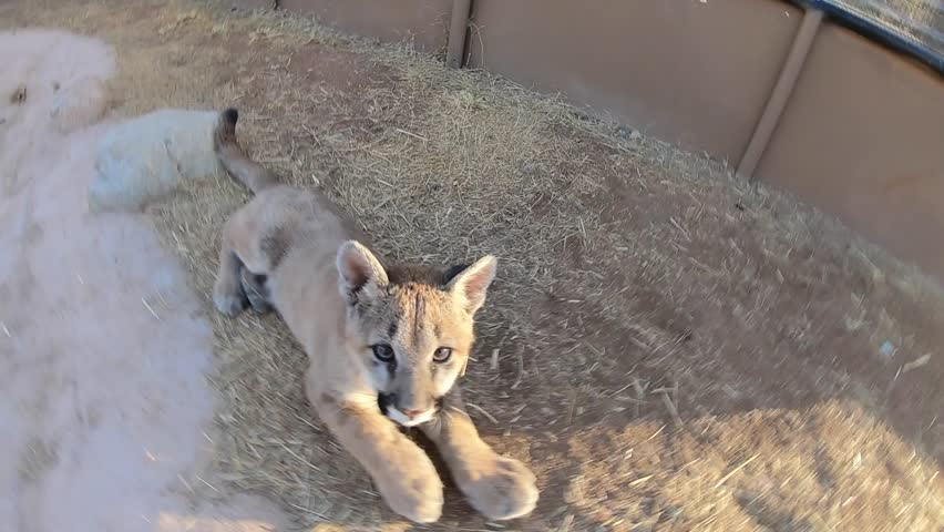 Cougar baby cub lunges at gopro camera in the air slow motion