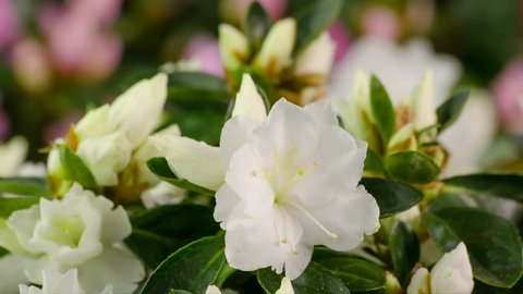 White Azalea Flower Blooming Time-Lapse Rododendron Flowering and Opening