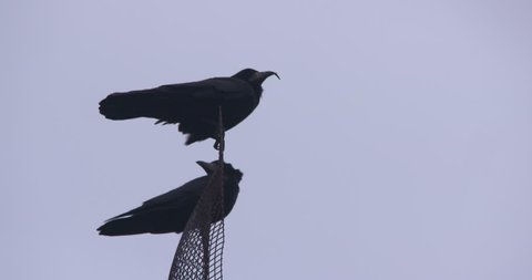 Two Black crows perched on antenna, one flies away slow motion