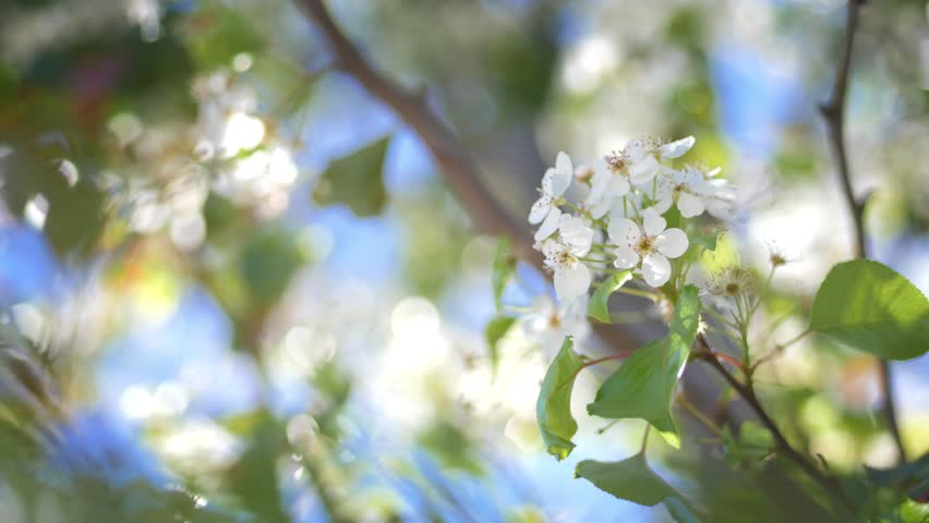 Closeup on flowering bloom of apple tree blossoming flowers in spring garden. Shallow DOF, 4K UHD.
