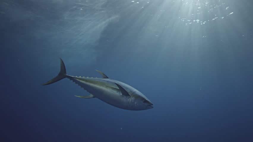 Yellow fin tuna in clear blue water and amazing light in Mexico, Guadalupe Island during great white shark cage diving | Shutterstock HD Video #1007786071
