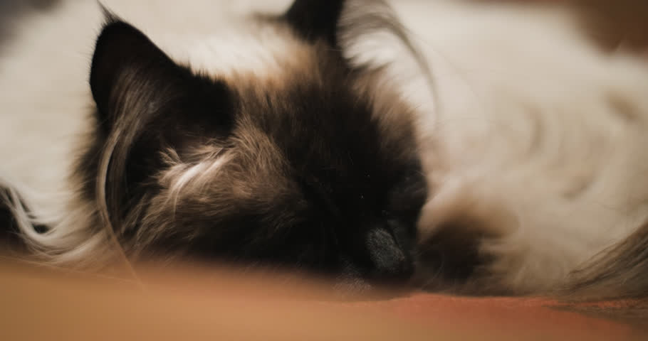 Sleeping ragdoll cat waking up