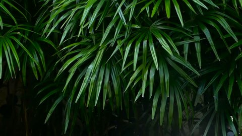 Bright juicy exotic tropical greens in the jungle forest equatorial climate. Background with unusual plant foliage swaying. Natural texture with juicy leaves. Sunlight on the palm leaf.