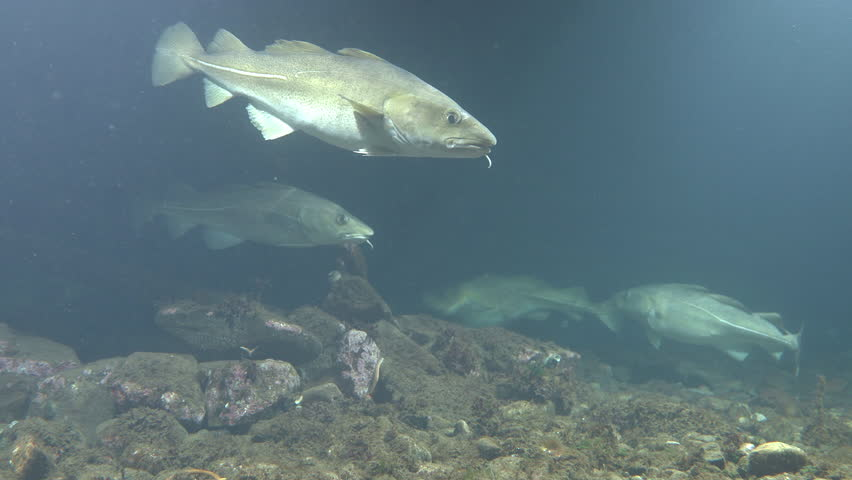 several atlantic cod swim in shallow water shallow depth of field