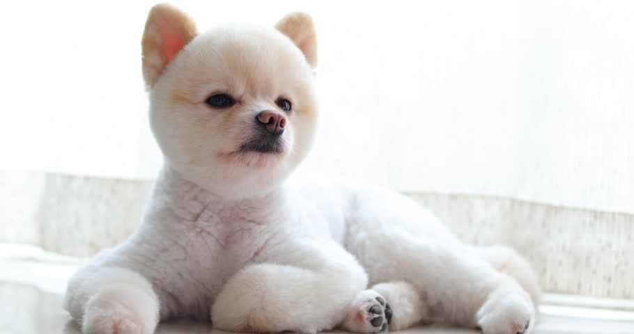 white pomeranian dog cute small pet grooming short hair round face style, lying in living room