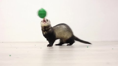 the ferret jumps for the ball and playing with it