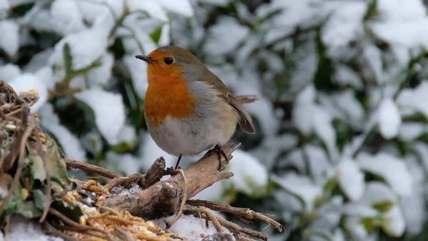 Robin in urban house garden in snow winter conditions. | Shutterstock HD Video #1008208921