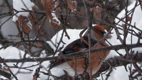 Winter in the forest. A Hawfinch (Coccothraustes coccothraustes) hidden into a tree branches in heavy snowfall.