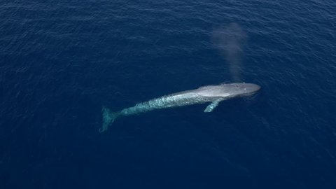 Aerial view of majestic blue whale in calm, blue ocean, floats, ascends, blows and dives again