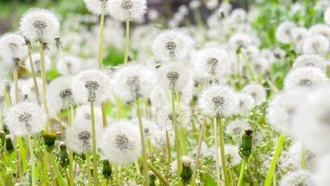 Glade Spring Dandelions. Dandelion seeds floating on the lawn. Slow Motion 120 fps