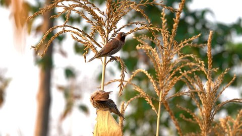 Small bird catching stem corn. Bird is Scaly breasted munia in cornfield. It eating flower and seed of fruit corn in farm. This time is beautiful sunset on nature