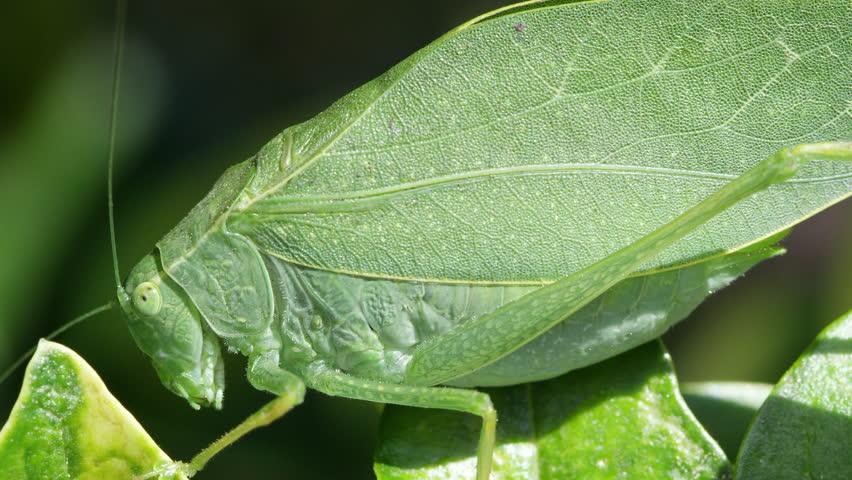 Macro showing the detail on wings of Katydid.