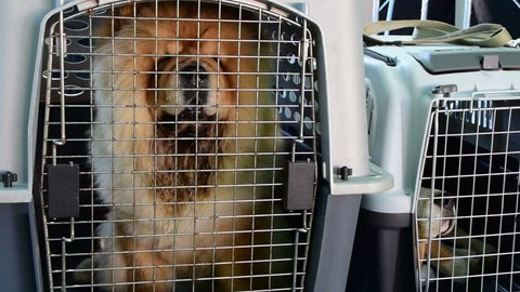 2 in 1, Chow chow in dog crate