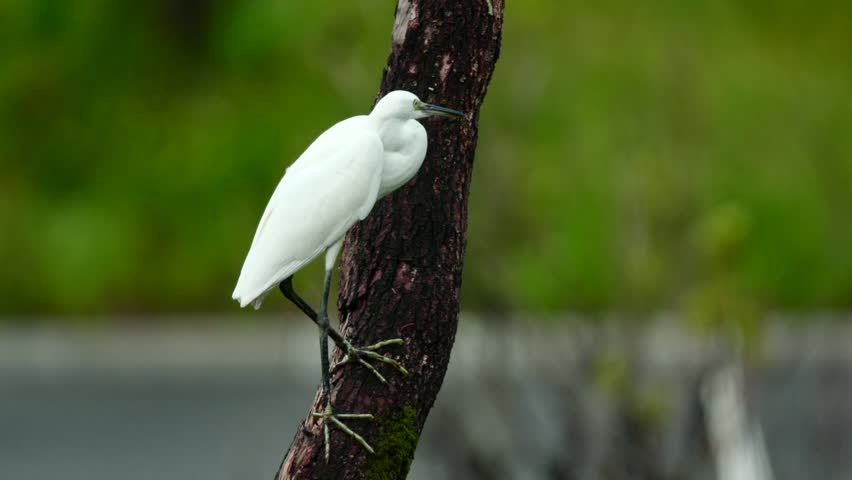 Little Egret (Egretta garzetta) is a small heron wildly distributed throughout the temperate and tropical regions. At 55-65 cm, weighing 0.35-0.55 kg, the small wader feeds mainly on aquatic lifeforms