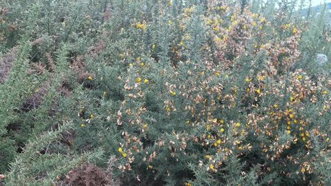 Yellow Gorse flowers blowing in the breeze