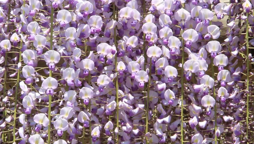 Wisteria flowers swaying in the breeze